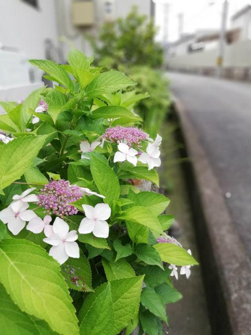 紫陽花をワイドアパーチャで