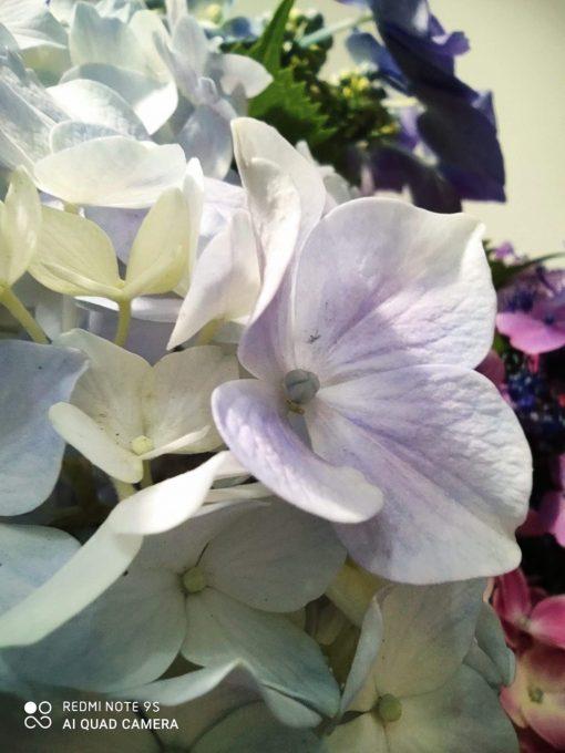紫陽花 マクロモード